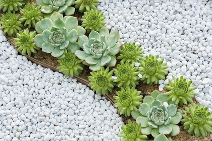 A wavy succulent and white rock border in landscape