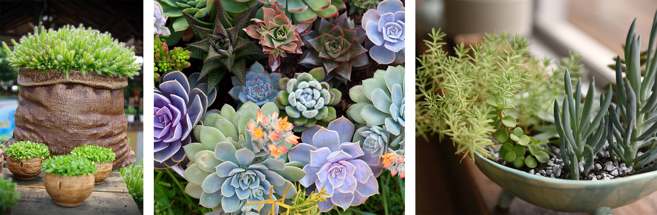 3 images: Succulents in a ceramic pot that looks like a paper bag and other pots, a wide variety of colorful succulents, and a few succulent varieties planted in a light sage green bowl near a window