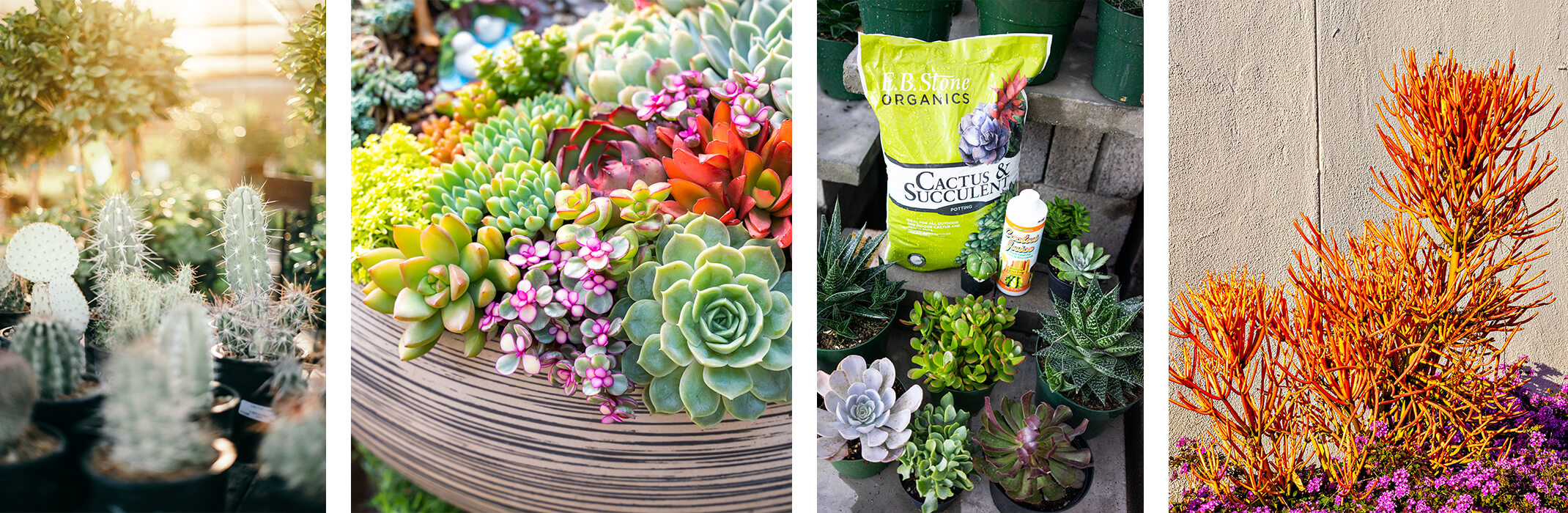 4 Images: a variety of cacti, a variety of colorful potted succulents, a variety of succulents on display with a bag of EB Stone Organics Cactus & Succulent Potting Soil and Cactus Juice Fertilizer, and orange Firestick succulents near purple plant