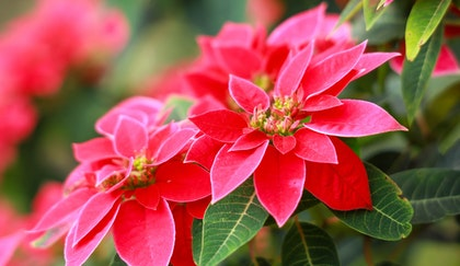 Red holiday poinsettia up close with supplemental poinsettias in background in blur