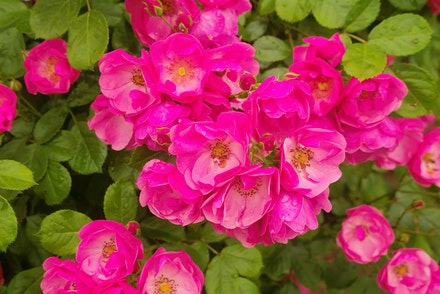 Rosa Angela Hybrid Floribunda Rose