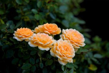 Yellow Grandiflora Rose Bush