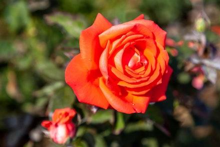 Close up of coral-orange Tropicana hybrid tea rose in garden