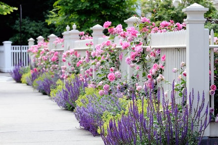 Pink roses growing against a white fence near alternating bright green plants and lavendar