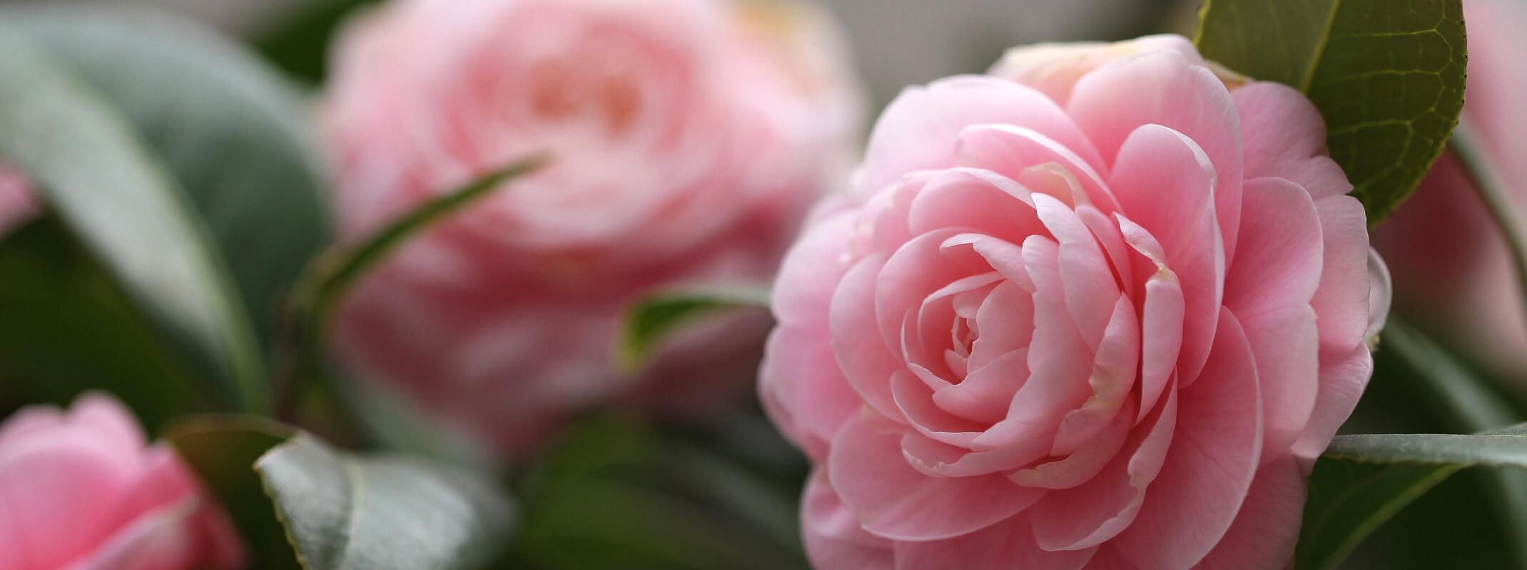 Blooming pink Pearl Maxwell Camellia shrub