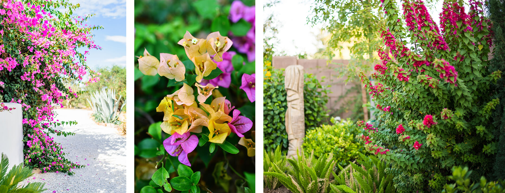 3 images - pink bougainvillea growing on path near white stucco wall and agave, closeup of purple and yellow bougainvillea, and a lush desert yard that includes a statue and pink bougainvillea shrub