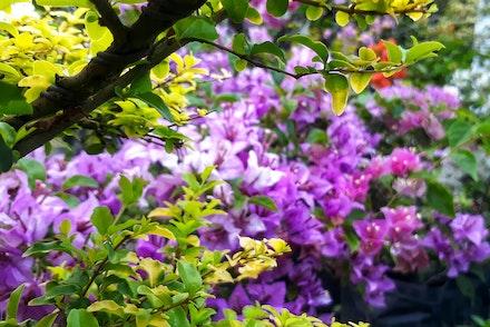 Purple Bouggainvillea growing near a green shrub under a tree