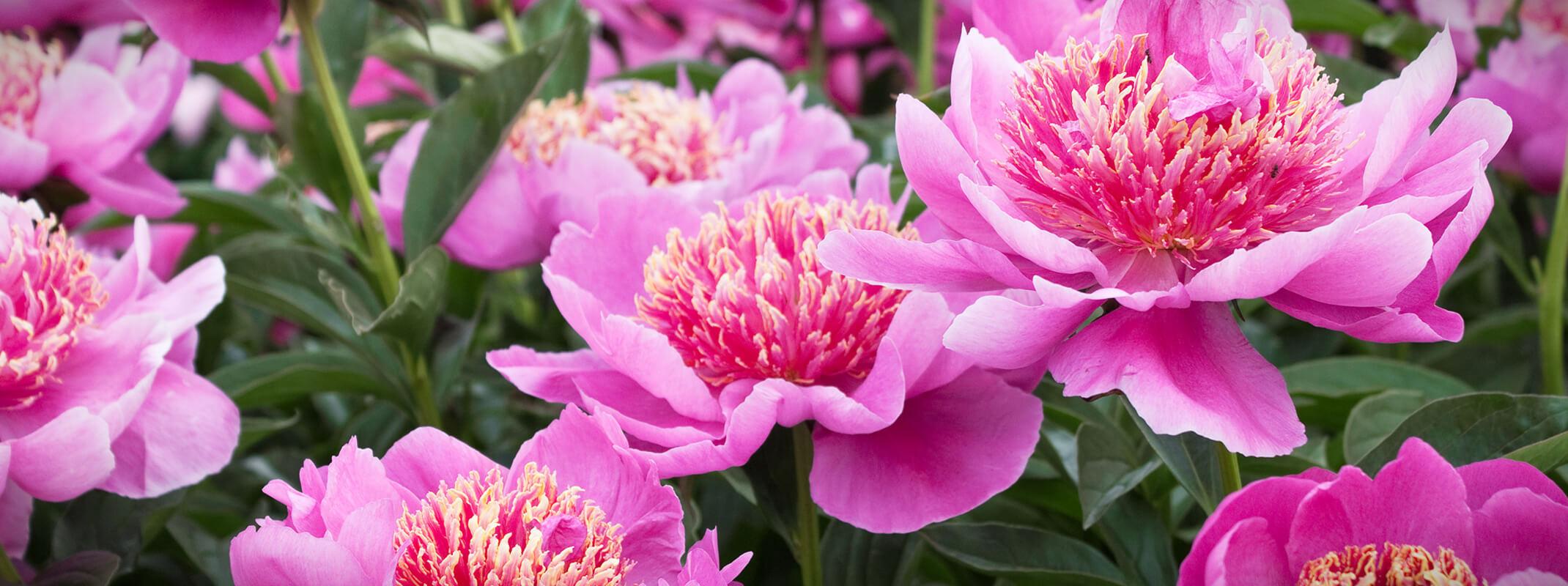 Blooming pink peonies