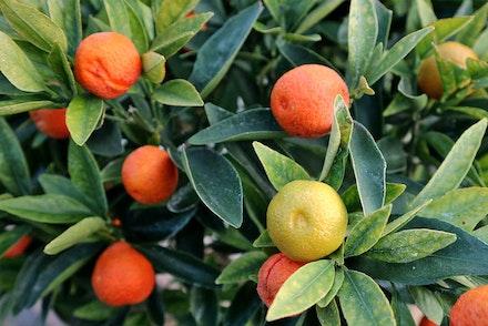 Closeup of Kumquat Fukushu fruits on tree