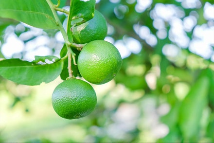 A closeup of Mexican Key Limes growing on a tree with blurred leaves and light in background