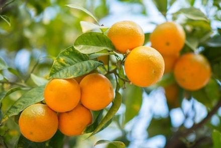 Closeup of Owari Satsuma Mandarins growing on a tree