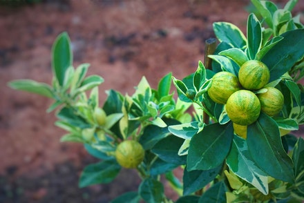 Variegated Calamondin Oranges growing on a tree with brown dirt blurred in background