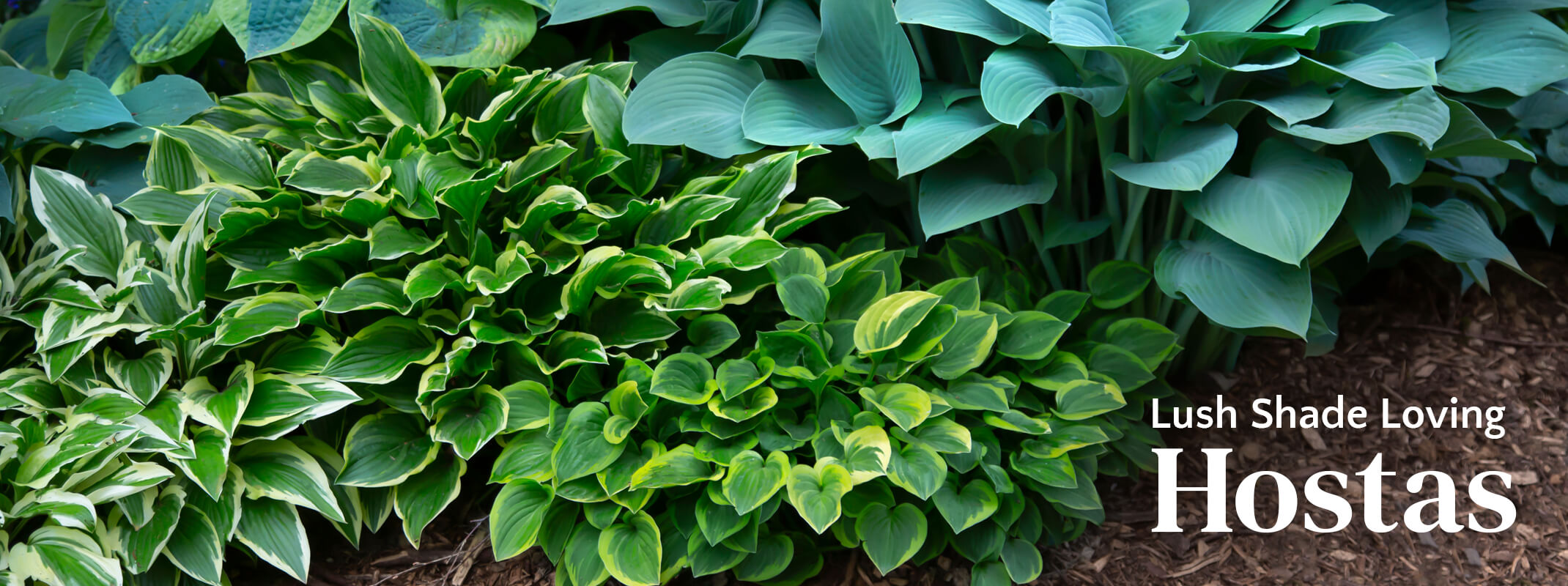 Assorted colors and styles of hostas with the words: Lush Shade Loving Hostas on the image