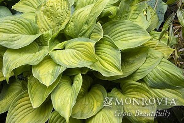 Guacamole hosta with a watermark of Monrovia Grow Beautifully