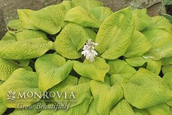 Rosendale hosta with a watermark of Monrovia Grow Beautifully