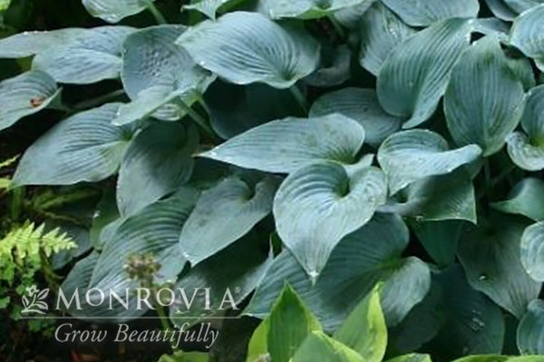 Hadspen blue hosta with a watermark of Monrovia Grow Beautifully