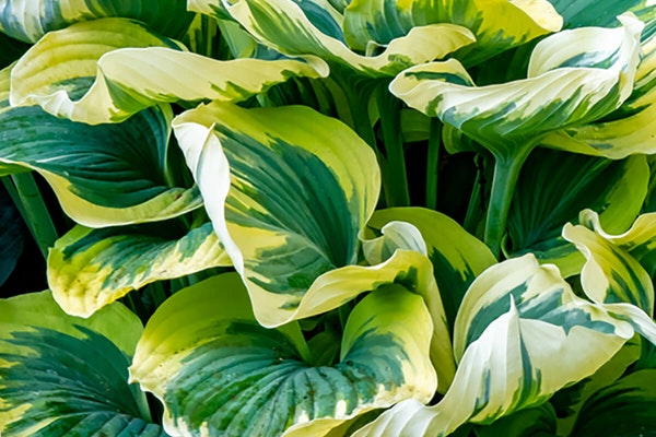 First frost hosta with a watermark of Monrovia Grow Beautifully