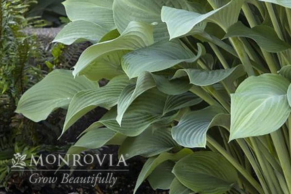Krossa Regal hosta with a watermark of Monrovia Grow Beautifully