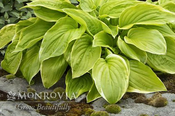 Fragrant bouquet hosta with a watermark of Monrovia Grow Beautifully