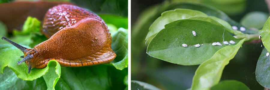 Slug sitting on a healthy green leaf and a second image of healthy green leaves with nasty mealybugs on them