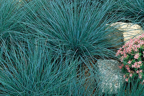 Masses of Carex Blue Zinger Ornamental Grass in a rock garden next to small pink flowers
