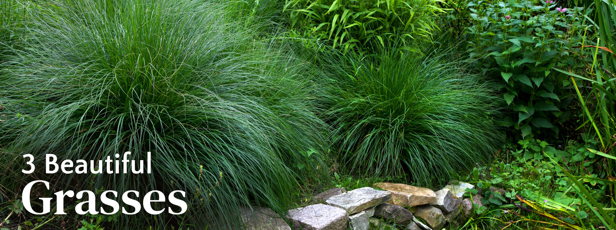 Ornamental grasses in a landscape with vines and bamboo framed in with a mini rock wall with the words: 3 Beautiful Grasses on the image