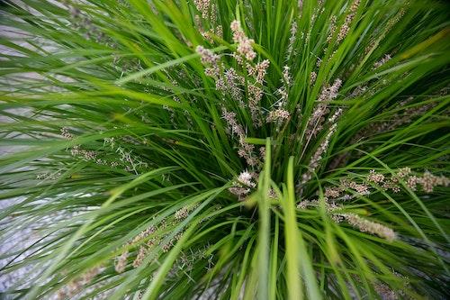 Lomandra breeze ornamental grass