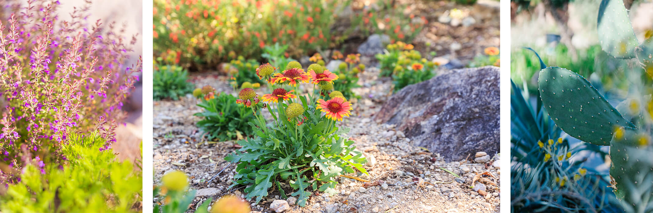 3 images of native plants: A puple sage/salvia plant near a bright green plant; orange gaillardia flowers planted in the ground; and closeup of cacti/succulents