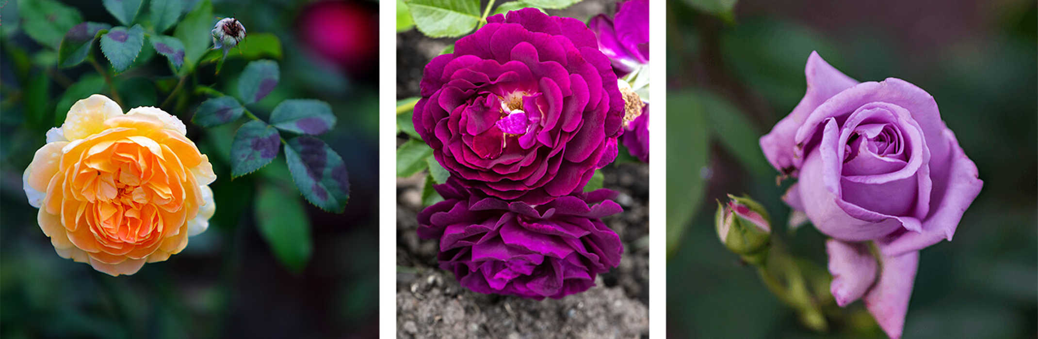 3 images: a closeup of a yellow rose in the garden; 2 pinkish purple roses in the garden; and a closeup of a lavender rose in the garden