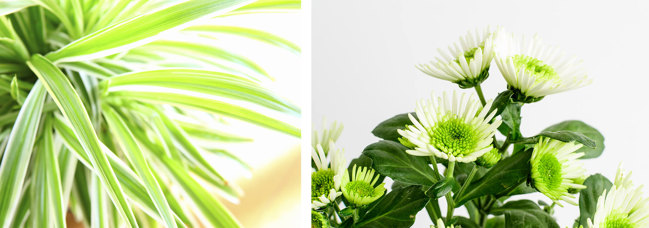 2 images: a closeup of a spider plant, and a close up of white garden mums