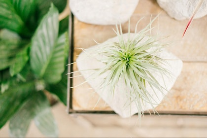A tillandsia / air plant in a stone vase on a wooden table with a houseplant in the background