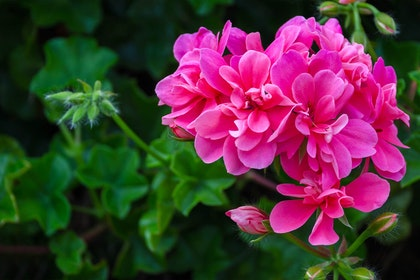 A closeup of bright pink geraniums