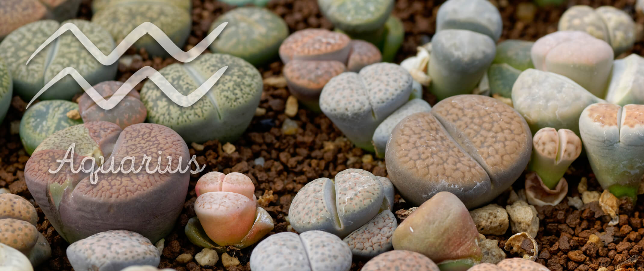 succulents with the aquarius symbol and word on the image