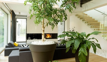 Large ficus tree houseplant and another large houseplant in a beautiful large living room with couch, and fire place
