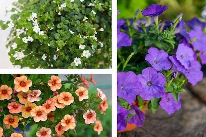 3 images - white bacopa flowers, orange calibrachoa flowers, and blue wave petunias