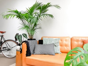 Large kentia housplant in a living room with couch and bike