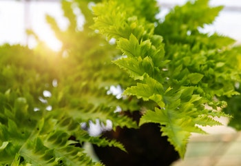 Hanging macho fern houseplant