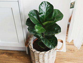 Fiddle leaf fig or ficus lyrata houseplant set inside planter basket sitting on hardood floor in front of white cabinets and curtains