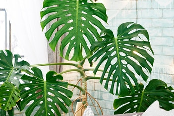 Large monstera deliciosa houseplant in living space