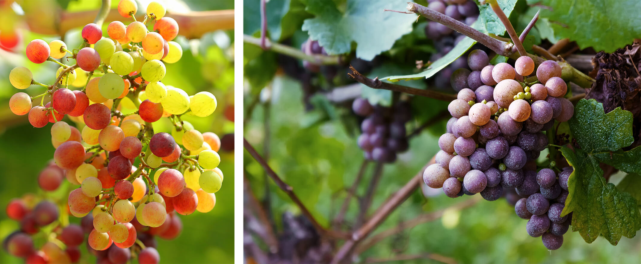 2 images: a closeup of ripening red grapes, and a closeup of purple grapes ripening on the vine