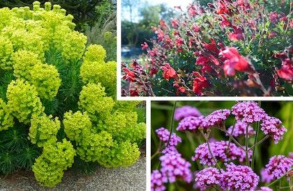 Three Mediterranean plants, spurge, salvia, and verbena