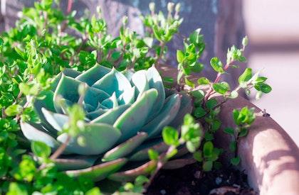 Succulents, including echeveria in terra cotta pot
