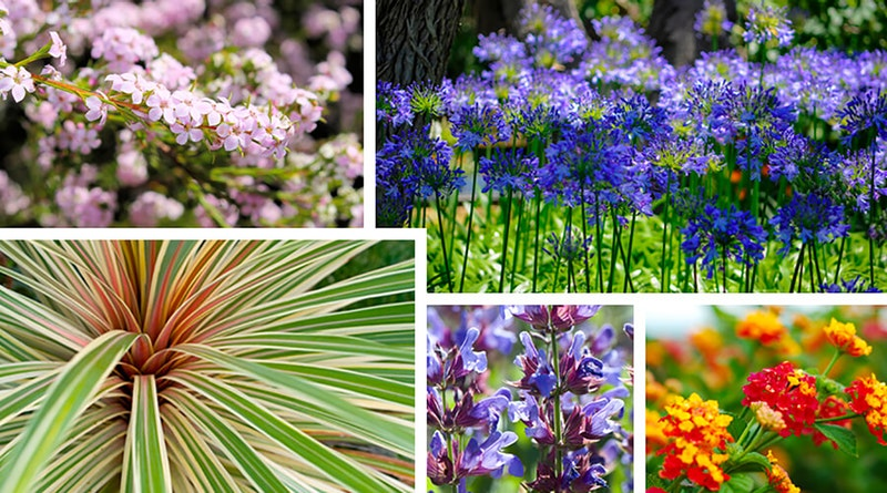 Assorted plants that refuse to droop in the heat starting with coleonema, agapanthus, phormium, salvia and lantana