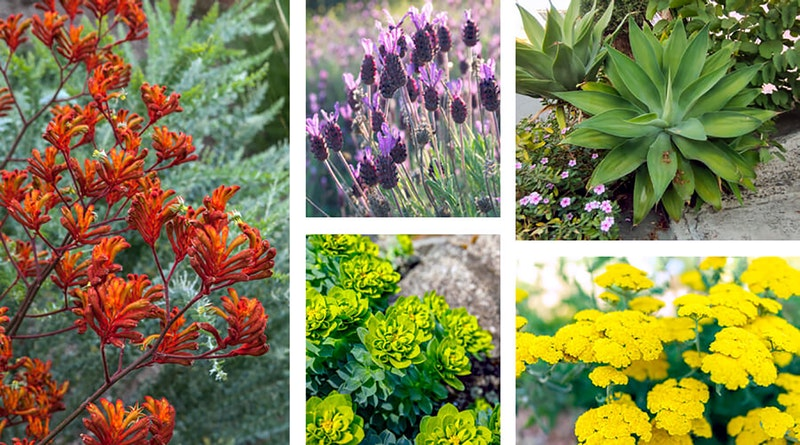 An assortment of Mediterranean plants starting with kangaroo paw, spanish lavender, agave, spurge and yarrow