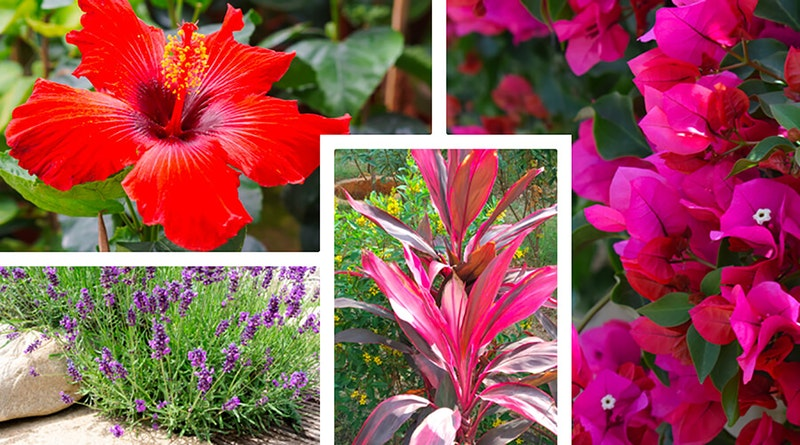 Perennials that thrive in the heat of summer starting with hibiscus, bougainvillea, lavender and cordylines