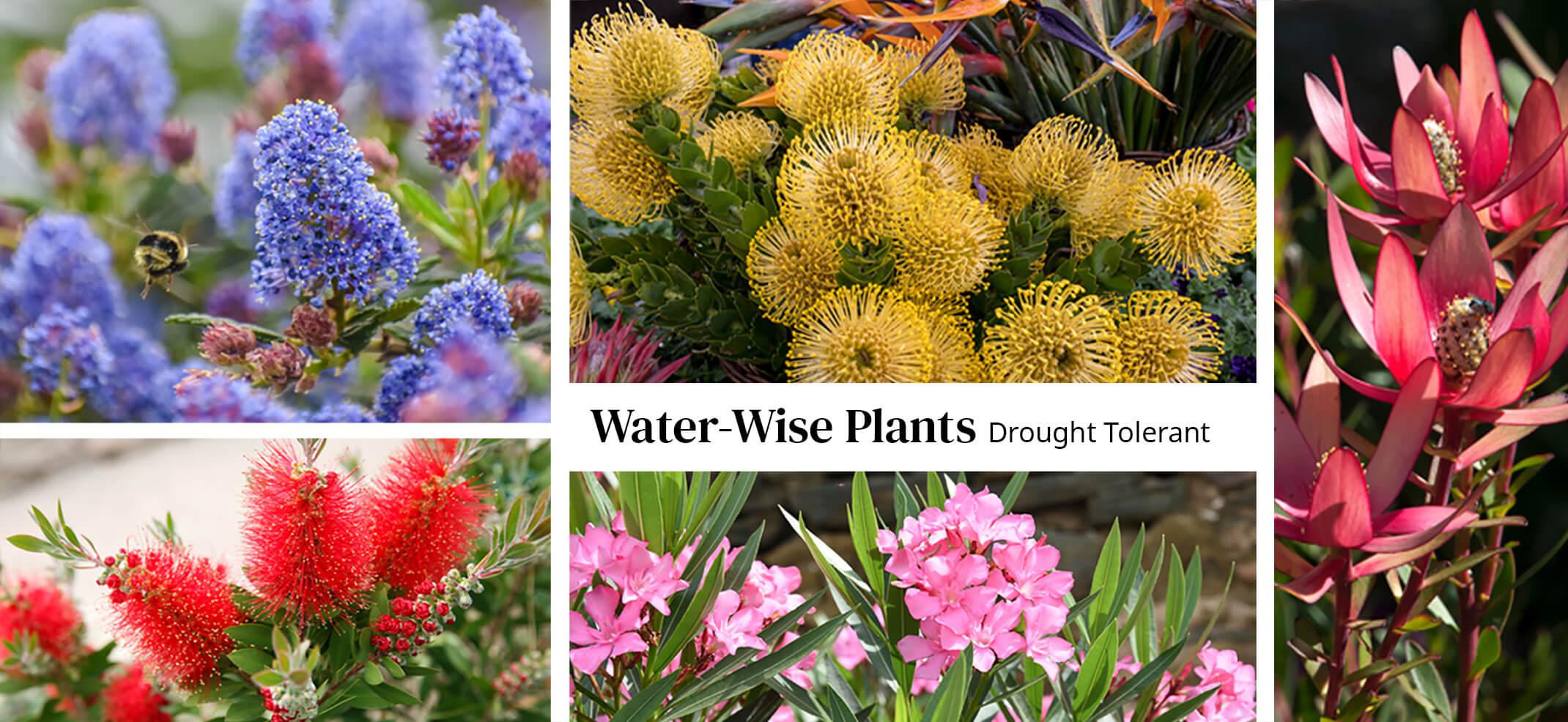 Assorted Perennials water-wise drought tolerant - ceanothus, pincushion, leucadendron, bottlebrush, oleander
