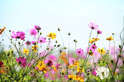 A closeup of a field of pink, yellow and white wildflowers