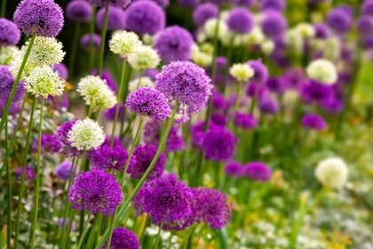 A closeup of purple and white allium bulbs in bloom in a garden
