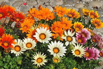 A closeup of red, orange, white, pink and yellow gazania flowers in bloom near rocks