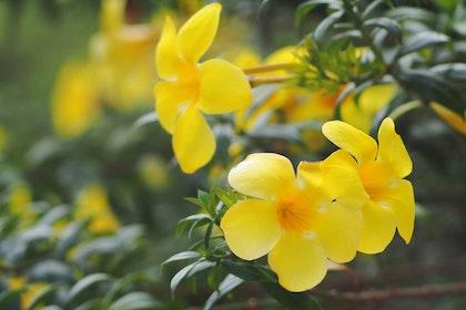 A closeup of yellow Carolina jessamine flowers in bloom